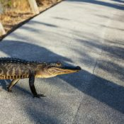 """""""What is Our Liability for Wild Animals?"""" Asks Hoteliers & Other Hospitality-Related Operators After Alligator Attack"""